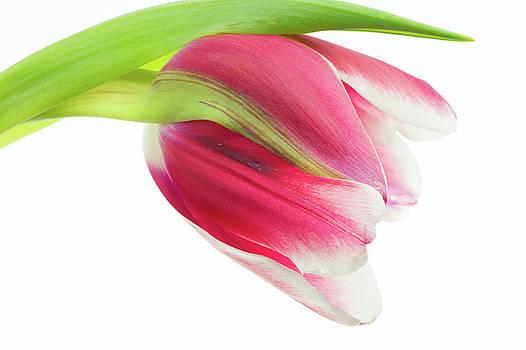 The Best Tulip by Nancy Kirkpatrick