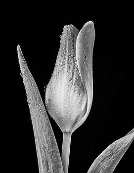 The Black And White Tulip by Garry Gay