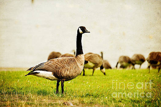 The Black Canada Goose by MaryJane Armstrong