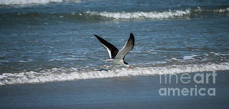 The Black Skimmer of Ocracoke by Debbie Morris