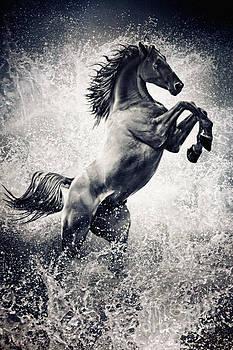 The Black Stallion Arabian Horse Reared Up by Dimitar Hristov