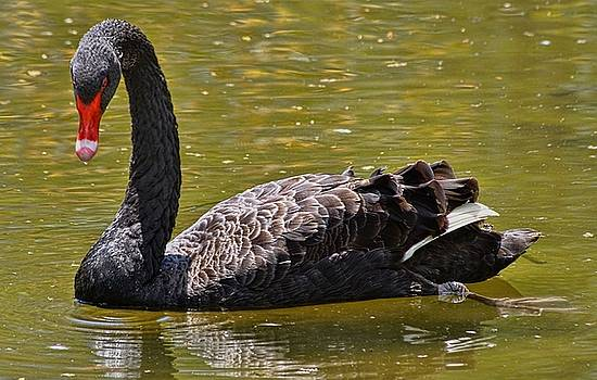 The Black Swan by Lanis Rossi