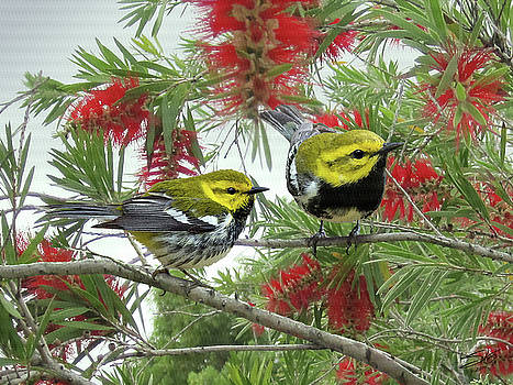 The Black-throated Green Warbler by Matthew Schwart