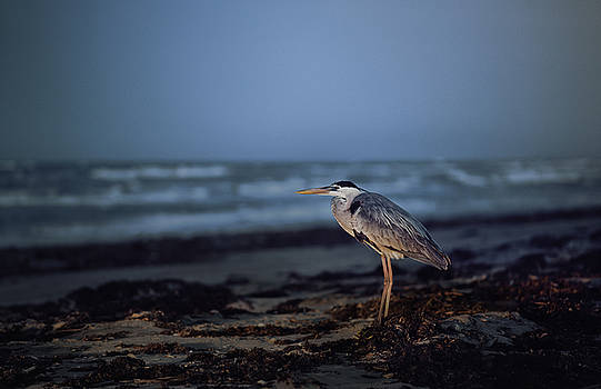 The Blue Heron by Justin Carrasquillo