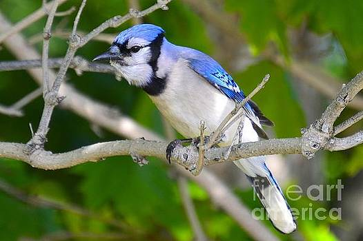 The blue Jay by Stephanie  Varner