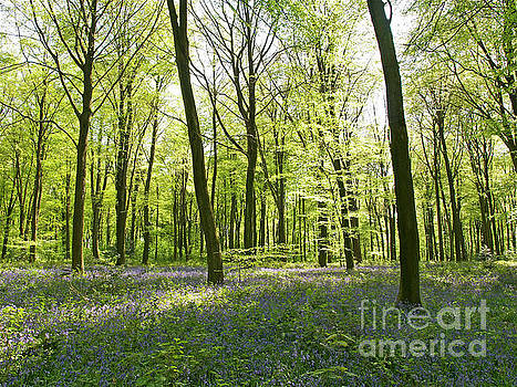The Bluebells of Itchen Woods by Alex Cassels