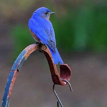 Bluebird in the Backyard by Randy Bayne