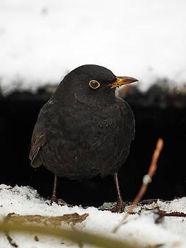 The Bold One. Eurasian blackbird by Jouko Lehto