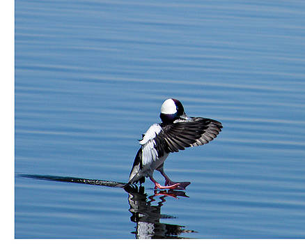 The Bufflehead Has Landed by Jeff Picoult