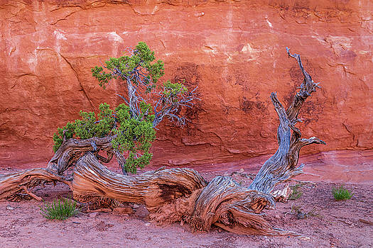 The Canyon Wall Juniper by Peter Tellone
