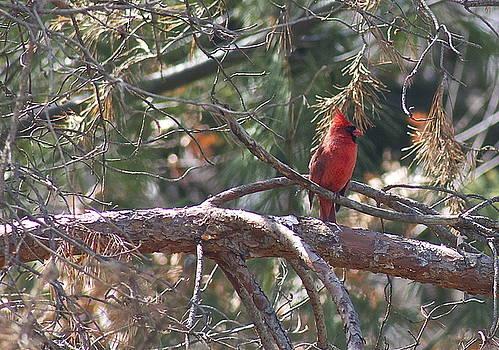 The Cardinal by Danielle Allard