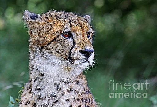 The cheetah, Africa wildlife by Wibke W