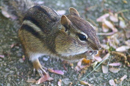The Chipmunk by Danielle Allard