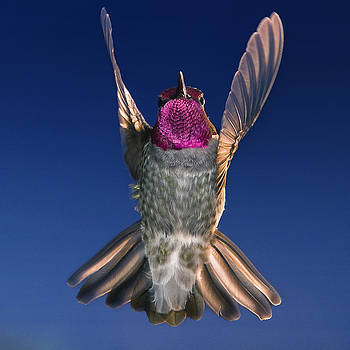 The Conductor of Hummer Air Orchestra by William Freebilly photography