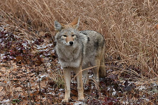 The Coyote by Sherry McKellar