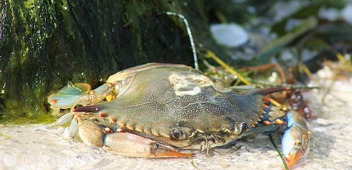 Patricia Twardzik - The Crabtastic Beach Life of a Crab