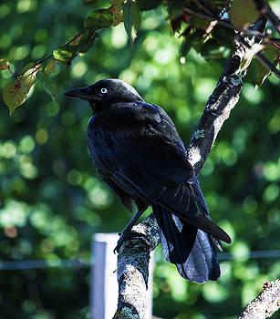 The Crow  by Naomi Burgess