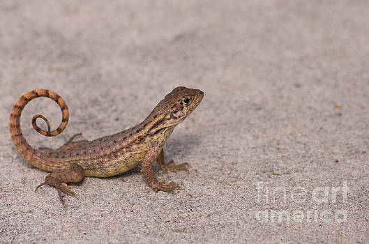 The Curly-tailed Lizard by Natural Focal Point Photography