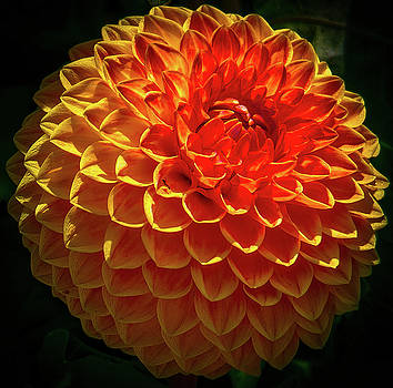 The Dahlia by Andrew Zuber