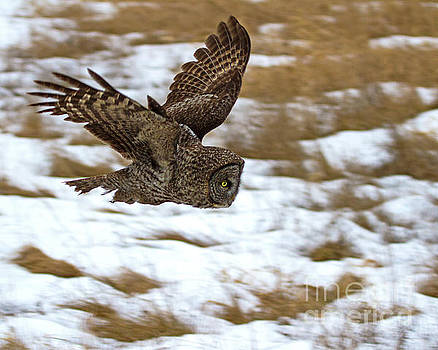 The Dive- Great Gray Owl by Lloyd Alexander