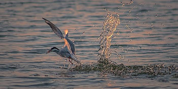 The Dive by Jeff S PhotoArt