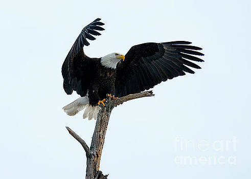 The Eagle has Landed by Mike Dawson
