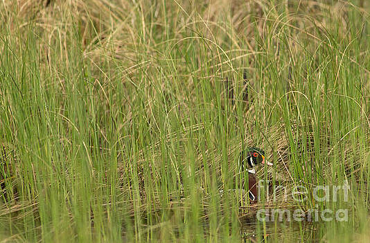 The Elusive Wood Duck by Natural Focal Point Photography