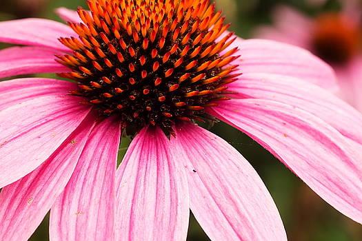 The Entire Flower by Amanda Kiplinger