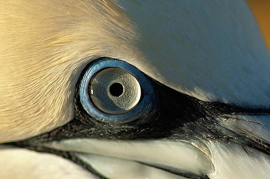 Sami Sarkis - The eye of a Northern Gannet