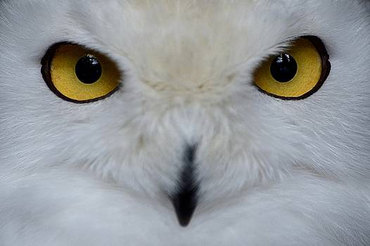 The eyes of the snowy owl by Ian Harland