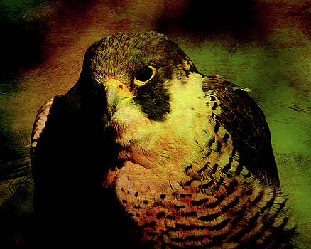 Wingsdomain Art and Photography - The Falcon