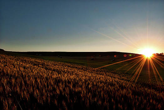 The field of Gold by Mark Dodd