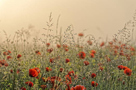 The field of poppies early morning by Adrian Bud