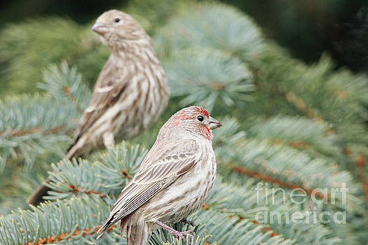 The Finches by Alyce Taylor