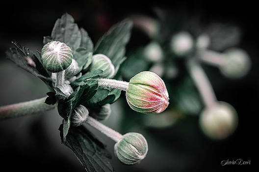 The flower buds - Toned by Laura Denis