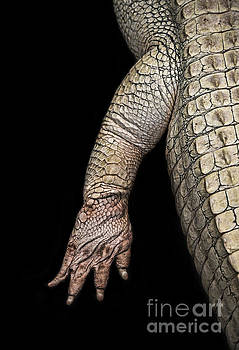 The Foot and Leg of an Albino Alligator  by Jim Fitzpatrick