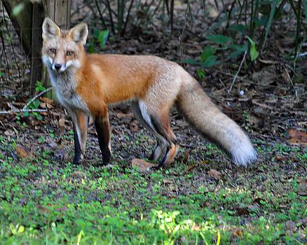 The Fox by Wayne Ritt