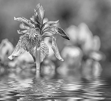The Gentleness of Spring 2 - Reflection bw by Steve Harrington