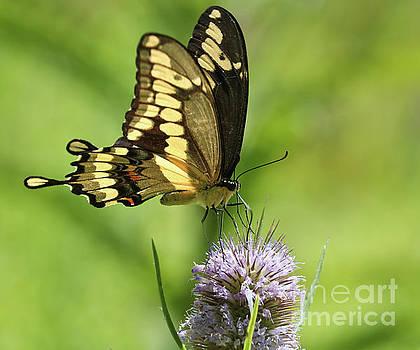 The Giant Swallowtail by Anita Oakley