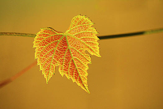 The golden leaf by Suzanne Blais