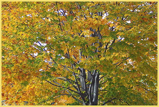 The Golden Maple Tree of Autumn by Dora Sofia Caputo Photographic Design and Fine Art