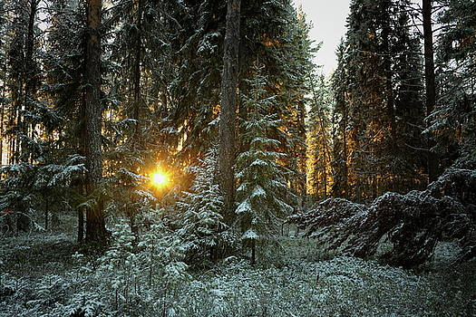The golden winter sun shines through the trees of a snowy forest by Ulrich Kunst And Bettina Scheidulin