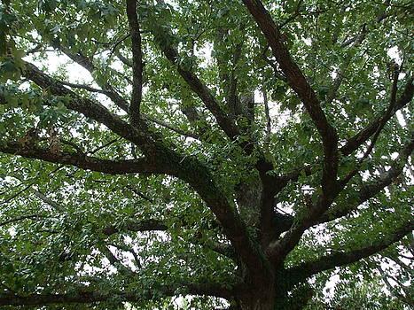 The Goldman Tree by Allison Jones
