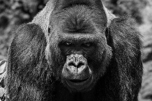 The Gorilla by Peak Photography by Clint Easley