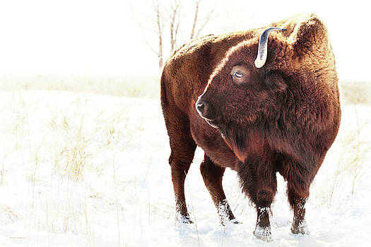 The Great American Bison by Brian Gustafson