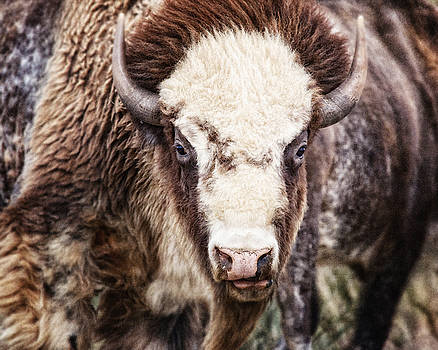 Lisa Russo - The Great American Bison