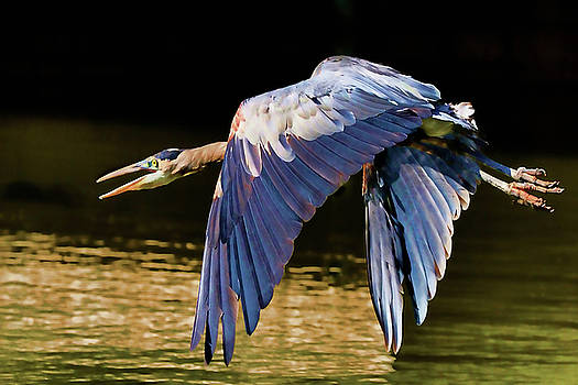 The Great Blue Heron by Michael Body