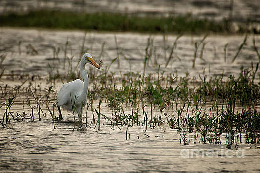 The great egret  Ardea alba syn  Casmerodius albus  by Venura Herath