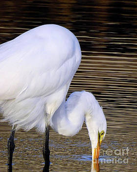 The Great Egret   by Scott Cameron
