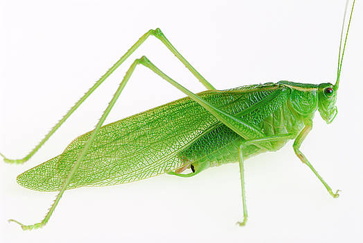 Reimar Gaertner - The great green grasshopper Tettigonia viridissima on white